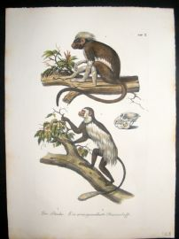 Schinz 1845 Antique Hand Col Print. Primates, Monkeys 3